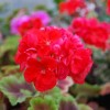 Pelargonium 'Royal Sovereign' (Pelargonium 'Royal Sovereign')