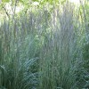 Calamagrostis x acutiflora 'Avalanche' (Feather reed grass 'Avalanche')