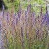 Molinia caerulea subsp. arundinacea 'Breeze' (Purple moor grass 'Breeze')