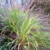 Pennisetum alopecuroides 'Red Head' (Chinese fountain grass 'Red Head')