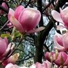 Magnolia 'Satisfaction'