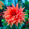 Dahlia 'Color Spectacle' (Dahlia 'Color Spectacle')
