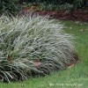 Carex oshimensis 'Everest' (Sedge 'Everest')