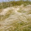 Stipa pennata (Feather grass )