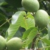 Juglans regia 'Broadview'