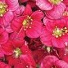 Saxifraga 'Touran Deep Red' (x arendsii)