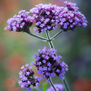 Verbena bonariensis 'Lollipop' (Purple top 'Lollipop')