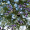 Thalictrum delavayi (Chinese meadow rue)