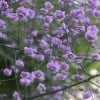 Thalictrum delavayi 'Hewitt's Double' (Chinese meadow rue 'Hewitt's Double')