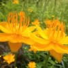 Trollius chinensis 'Golden Queen' (Globeflower 'Golden Queen')