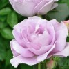 Rosa 'Harry Edland' (Rose 'Harry Edland')