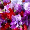 Lathyrus odoratus Royal March Mix (Sweet pea Royal March Mix)
