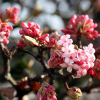 Viburnum x bodnantense 'Dawn' (Arrowwood 'Dawn')