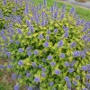Caryopteris x clandonensis 'Hint of Gold' (Bluebeard 'Hint of Gold')
