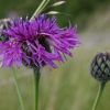 Centaurea scabiosa (Greater knapweed)