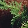 Polypodium x mantoniae 'Bifidograndiceps'
