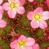 Saxifraga 'Elf Rose'
