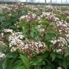 Viburnum tinus 'French White' (Laurustinus 'French White')