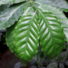 Coffea arabica (Arabian coffee)