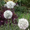 Allium cepa 'Snowball' (Onion 'Snowball')