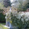 Armand clematis 'Little White Charm' (Clematis armandii 'Little White Charm')