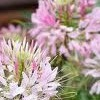 Cleome hassleriana 'Rose Queen'