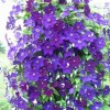 Clematis 'Aksel' (Clematis 'Aksel')