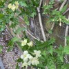 Jasminum officinale 'Clotted Cream' (Jasmine 'Clotted Cream')