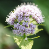 Valeriana pyrenaica (Capon's tail grass)