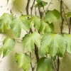 Parthenocissus tricuspidata 'Robusta' (Boston ivy 'Robusta')
