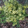 Euonymus fortunei 'Emerald 'n' Gold' (Spindle 'Emerald 'n' Gold')