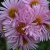 Aster novae-angliae 'Pink Victor' (Hairy Michaelmas daisy 'Pink Victor')