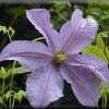 Clematis 'New Prince' (Clematis 'New Prince')