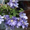 Clematis 'Our Jean' (Clematis 'Our Jean')