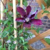 Clematis 'Picardy' (Clematis 'Picardy')