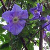 Clematis 'Piccadilly' (Clematis 'Piccadilly')