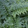 Polypodium cambricum 'Richard Kayse' (Welsh polypody 'Richard Kayse')
