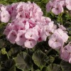 Pelargonium 'BullsEye Light Pink' (BullsEye Series) (Pelargonium 'BullsEye Light Pink' )