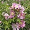 Clematis 'Rosalyna' (Clematis 'Rosalyna')