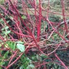 Cornus alba 'Aurea' (Golden Tartarean dogwood)