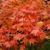 Acer palmatum 'Green Glory' (Japanese maple 'Green Glory')