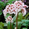 Bergenia 'Bressingham White' (Elephant's ears 'Bressingham White')