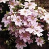 Clematis 'Together' (Clematis 'Together')