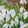 Galanthus 'Magnet' (Snowdrop 'Magnet')