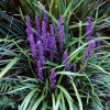 Liriope muscari (Big blue lilyturf)