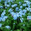 Myosotis scorpioides (Water forget-me-not)