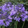 Agapanthus 'Blue Triumphator' (African lily 'Blue Triumphator')