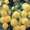 Alcea rosea Chater's Double Group yellow-flowered (Hollyhock Chater's Double Group yellow-flowered)
