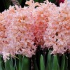 Hyacinthus orientalis 'Gipsy Queen' (Hyacinth 'Gipsy Queen')