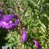 Penstemon 'Sour Grape' (Penstemon 'Sour Grape')
